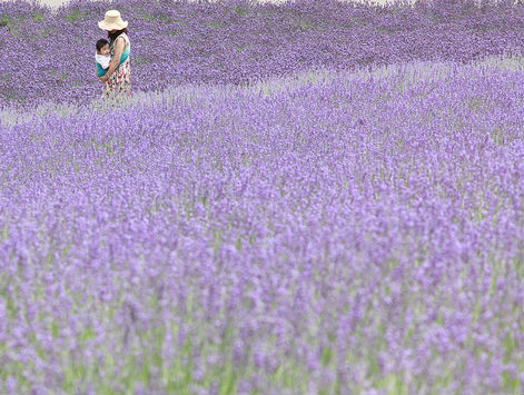 Lavendar fields at Hokkaido during summer, Japan
